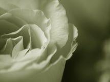 Rose descolorada Fotografía de archivo