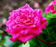 Rose después de la lluvia Imágenes de archivo libres de regalías