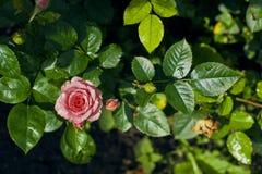 Rose después de la lluvia Foto de archivo libre de regalías