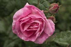 Rose después de la lluvia Fotos de archivo