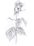 Rose dessinée au crayon sur un fond blanc Photos stock