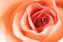 Rose detail Royalty Free Stock Photography