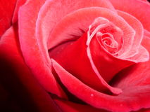Rose. A detail of a beautiful red rose royalty free stock images