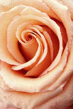 Rose detalj Arkivfoton