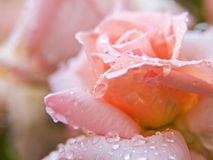 Rose in a dew. Pink pretty rose cowered by water drops royalty free stock photos