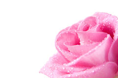 Rose in dew. Head of pink rose with dew drops, isolated on white Stock Images