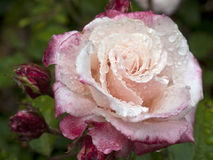 Rose with dew Stock Photography