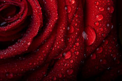 Rose in the dew drops on  black. Stock Photos