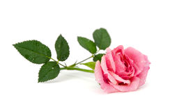 Rose in dew drops Royalty Free Stock Images
