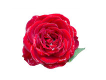 Rose with dew drops Royalty Free Stock Image