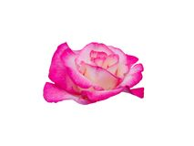 Rose with dew drops Royalty Free Stock Images