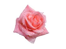 Rose with dew drops Royalty Free Stock Photography