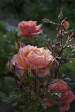 Rose in dew drops  . Stock Photo