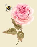 Rose with dew drops. Vector illustration of beautiful vintage rose with dew drops and flying bumblebee stock illustration