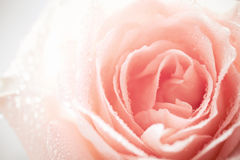 Sweet Rose. On White Background Royalty Free Stock Images