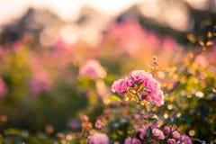 Rose di autunno e fondo molle Immagine Stock