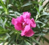 Rose di Cina Fotografia Stock