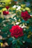 Rose di colore rosso dei fiori Immagine Stock Libera da Diritti