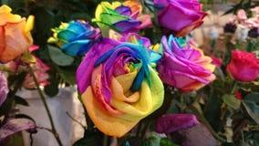 Rose di Colorfull Fotografie Stock