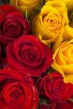 Rose di colori gialli e di colore rosso Fotografia Stock Libera da Diritti