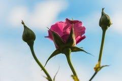 Rose di fioritura Immagine Stock Libera da Diritti