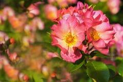 Rose di fioritura Fotografie Stock Libere da Diritti