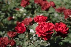Rose di fioritura fresche prima del taglio al mazzo Immagine Stock Libera da Diritti