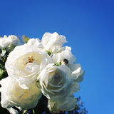 Rose di fioritura legate insieme Foto dell'annata Immagine Stock Libera da Diritti