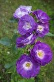 Rose di Floribunda blu per voi Fotografia Stock