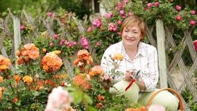 rose di giardinaggio del cespuglio della donna del pensionato video d archivio