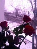 Rose di inverno sulla finestra Fotografia Stock Libera da Diritti