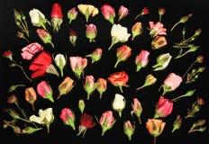 Rose di neolatino Immagine Stock