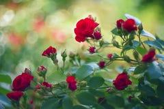 Rose di tè nel giardino Immagine Stock