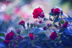 Rose di tè nel giardino Fotografia Stock