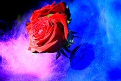 Rose, die in Licht schwimmt Lizenzfreies Stockbild