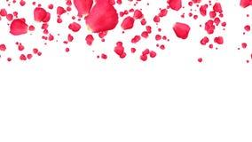 Rose, die mit weißem Hintergrund fällt stock footage
