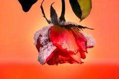 Rose, die unter dem Winterangriff widersteht stockfotos