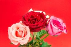 Rose differenti di colore su blackground rosso Fotografia Stock Libera da Diritti