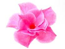 Rose Dipladenia Royalty-vrije Stock Foto's