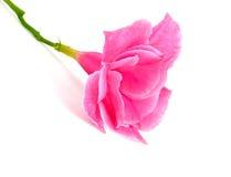 Rose dipladenia. Flower  on White background Stock Image