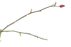 Rose dog twig with buds. Isolated on white stock image