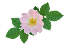 Rose dogrose flowers. It is isolated a holiday royalty free stock photography
