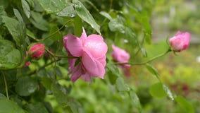 Rose dopo la pioggia stock footage