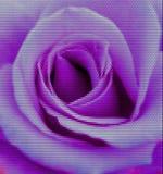 Rose Dotted Vetora Illustration roxa Imagens de Stock Royalty Free