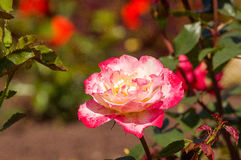 Rose Double Delight. Double Delight Rose Flower with leaves royalty free stock photography