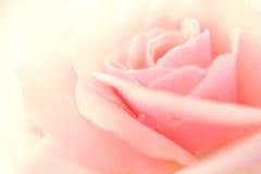 Rose douce de rose dans le style doux de couleur et de tache floue Photo stock