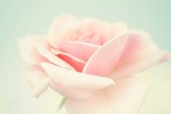 Rose douce de rose dans le style doux de couleur et de tache floue Image stock