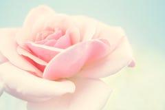 Rose douce de rose dans le style doux de couleur et de tache floue Images stock