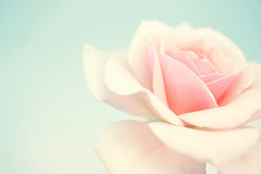 Rose douce de rose dans le style doux de couleur et de tache floue Photographie stock