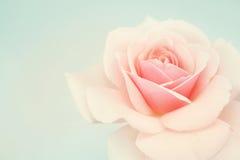 Rose douce de rose dans le style doux de couleur et de tache floue Photographie stock libre de droits